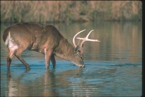 White-tailed Deer2